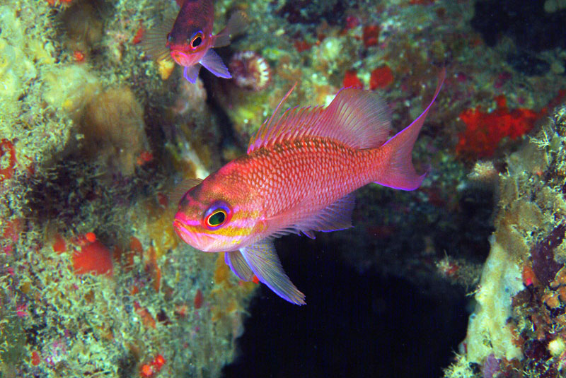 By Etrusko25 [Public domain], from Wikimedia Commons_https://commons.wikimedia.org/wiki/File:Anthias_anthias_Stefano_Guerrieri1.jpg
